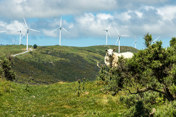 New Zealand Wind Turbines With Sheep