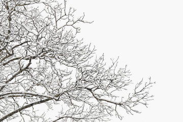 Snow covered branches of a hickory tree