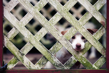 Lonely white puppy peeking longingly out through fencing