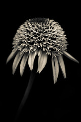 Echinacea in monochrome