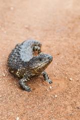 Blue tongue lizard on a dirt track, Australia. Latin name is Til