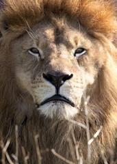 Sunlit Male Lion Closeup Portrait