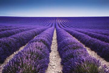 Landscape: rows of lavender in full bloom at sunrise, summer, Provence, France
