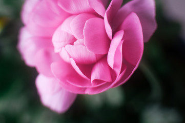 birds eye view of single pink ranunculus flower
