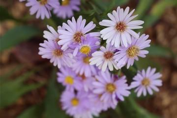 Diasy flower