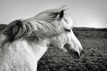 black and white Icelandic horse profile