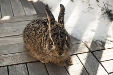 young hare sitting outside on wooden surface
