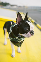 Boston terrier with camouflage scarf