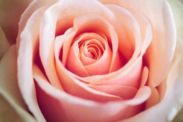 Light Pink Rose