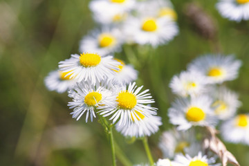 uncultivated camomile on the meadow