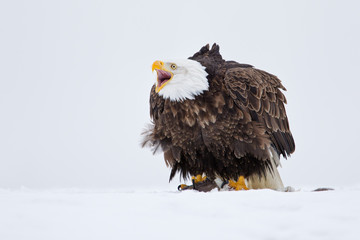 Bald eagle calling on top of prey in the snow in Alaska