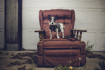 Small black and white terrier dog in a coat stands on vintage chair in alley