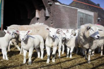 Newborn lambs at a farm