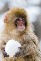 Young Japanese macaque (Macaca fuscata) / Snow monkey, Joshin-etsu National Park, Honshu, Japan