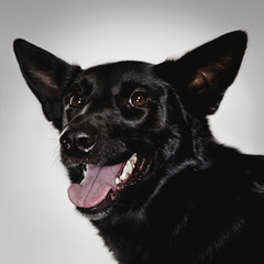 A studio portrait of a black dog