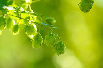 Harvest of hops.  branch of hops on a green vegetal background.Hop cones close-up in the rays of sunset.