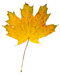 autumn maple leaves isolated on white background close-up