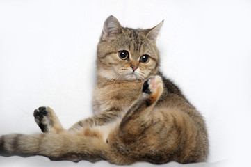 British tabby cat on a light background