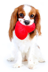 Dog with heart. Cavalier king charles spaniel valentine s day illustration. Plush red heart with spaniel puppy. Happy valentine's day Valentines day dog concept. Blenheim cavalier puppy in studio