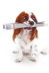 Smart dog fetching the newspaper. Dog carrying holding newspaper on isolated white studio background.
