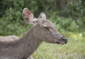head of brow-antlered deer