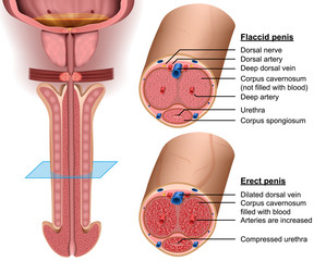 Anatomy, cross section Penis, 3d vector illustration
