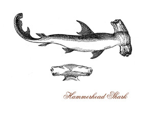 """vintage engraving of hammerhead shark with the flattened head laterally extended into a """"hammer"""" shape, the head could have so evolved to enhance its vision and is also used as weapon when hunting."""