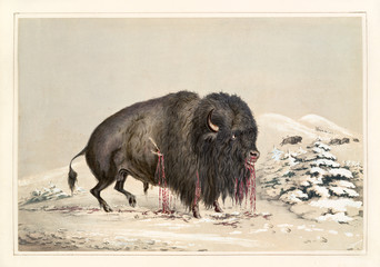 Wounded buffalo bull. By G. Catlin, publ. on Catlin's North American Indian Portfolio, Ackerman, New York, 1845