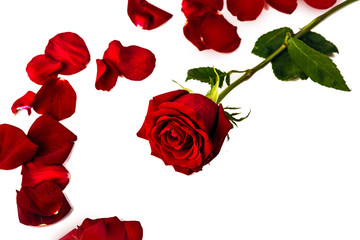 one red rose around her red petals on a white background
