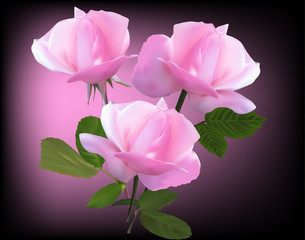 rose three large pink blooms on dark background