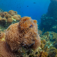 Big anemone on corals in tropical sea water, underwater shot, marine aquatic life