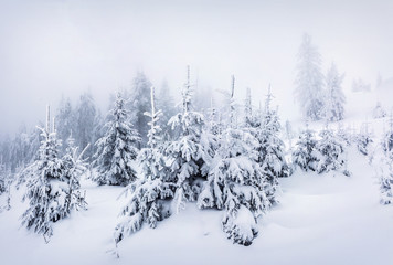 Foggy winter morning in Carpathian mountains with snow covered fir trees