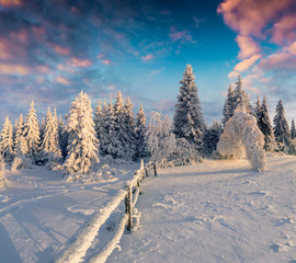Picturesque winter sunrise in Carpathian mountains with snow covered fir trees