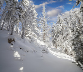 Bright winter morning in Carpathian mountains with snow covered fir trees