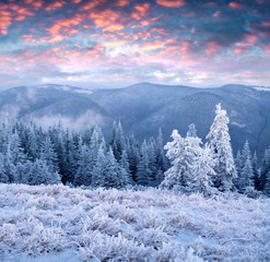 Incredible winter sunrise in Carpathian mountains with snow cowered fir trees