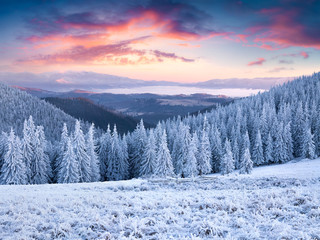 Unbelievable winter sunset in Carpathian mountains with snow covered grass and fir trees