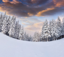 Incredible winter sunrise in Carpathian mountains with snow covered trees