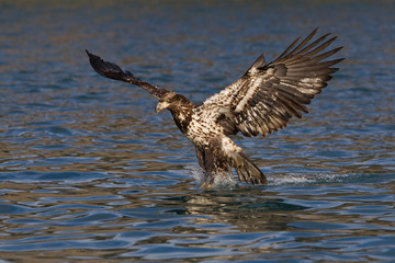 Juvenile bald eagle catching a fish with its talons in Alaska