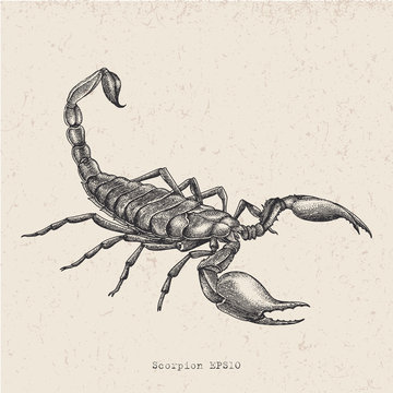 Vintage scorpion hand drawing