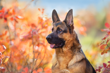 German shepherd dog close up portrait in fall park