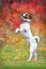 Jack russel terrier make trick in autumn park