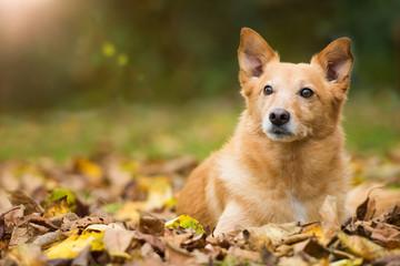 Mischlingshund im Herbst