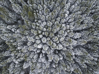 First snow in spruce tree forest. Moscow region. Russian landscape. Aerial view..