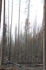 burned trees in forest fire