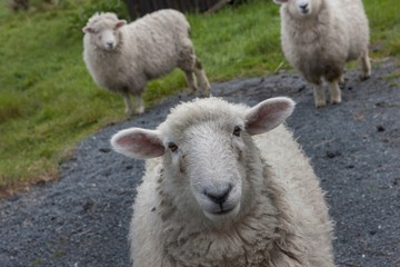 Poster Sheep Sheep at Kaka Point