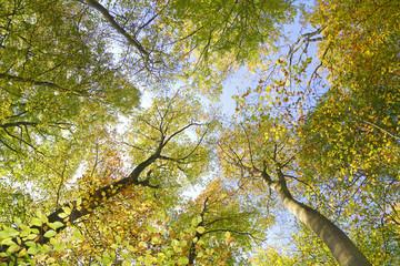 Laubbäume im Herbstwald aus der Froschperspektive