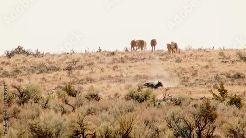 Stallion rolling in dust wild west Wild Horses Steens Mountain Near malheur Wildlife Refuge 7