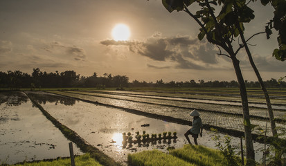 Sunlight in rice field