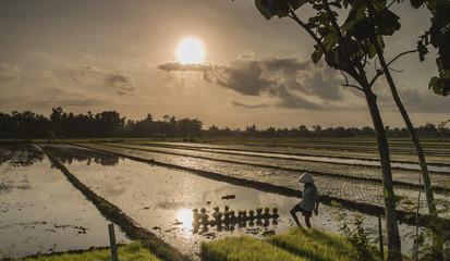 Sunlight in rice field