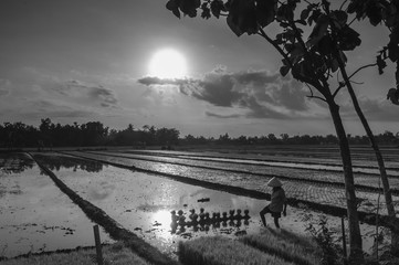 Rice farm black and white
